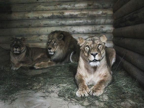 Медведи Миша и Маша из нижегородского «Мишутки» готовятся к спячке в «Маленькой стране» - фото 2
