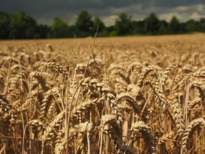 В Нижегородской области собрано более миллиона тонн зерна