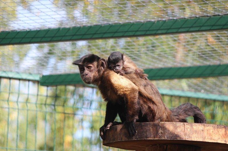 Рожденный Катетом и Гипотенузой: нижегородский зоопарк показал малыша обезьян-капуцинов - фото 1