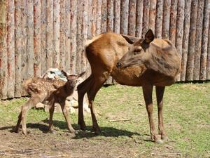 В «Лимпопо» родился олененок (ФОТО)