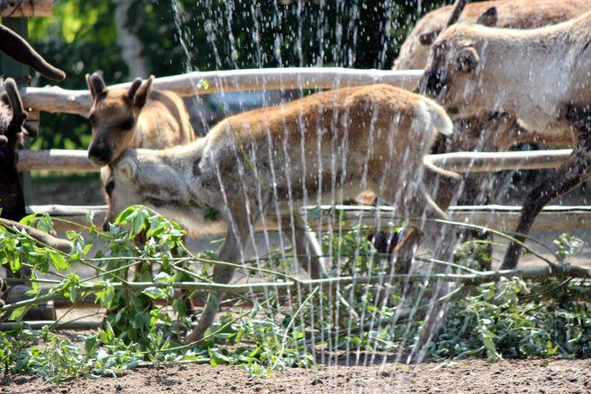 Фруктовым людом кормят животных нижегородского зоопарка из-за аномальной жары - фото 3