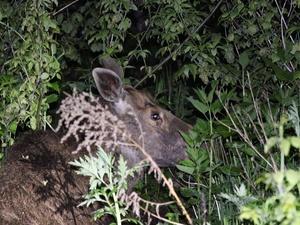 Пойманную в Нижнем Новгороде годовалую лосиху вернули в лес сотрудники Госохотнадзора