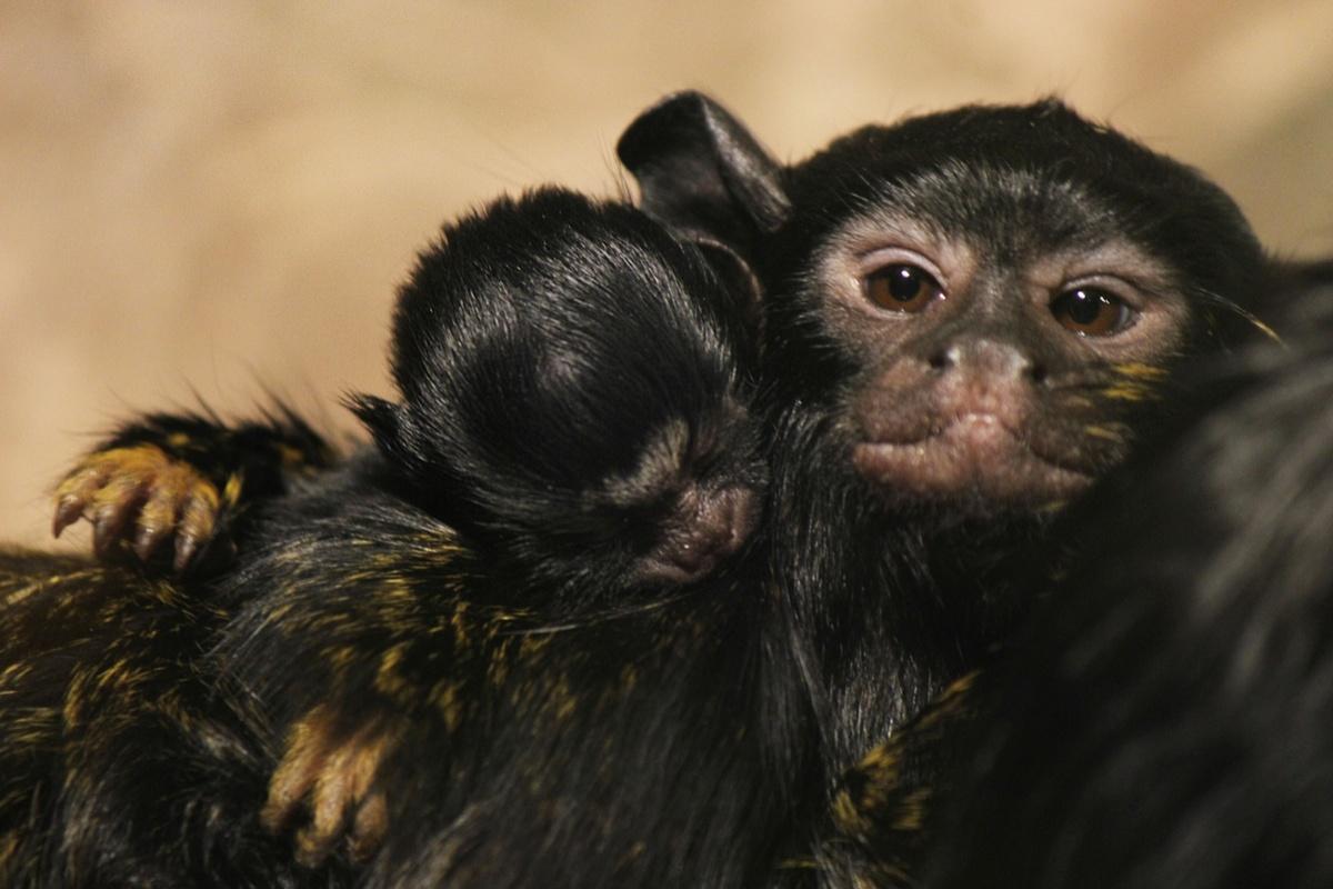 Красноухие тамарины родились в нижегородском зоопарке «Лимпопо» - фото 1