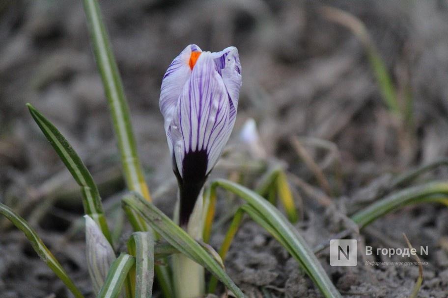 Первые цветы распустились в Нижнем Новгороде - фото 1