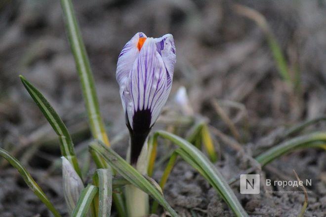 Первые цветы распустились в Нижнем Новгороде - фото 9