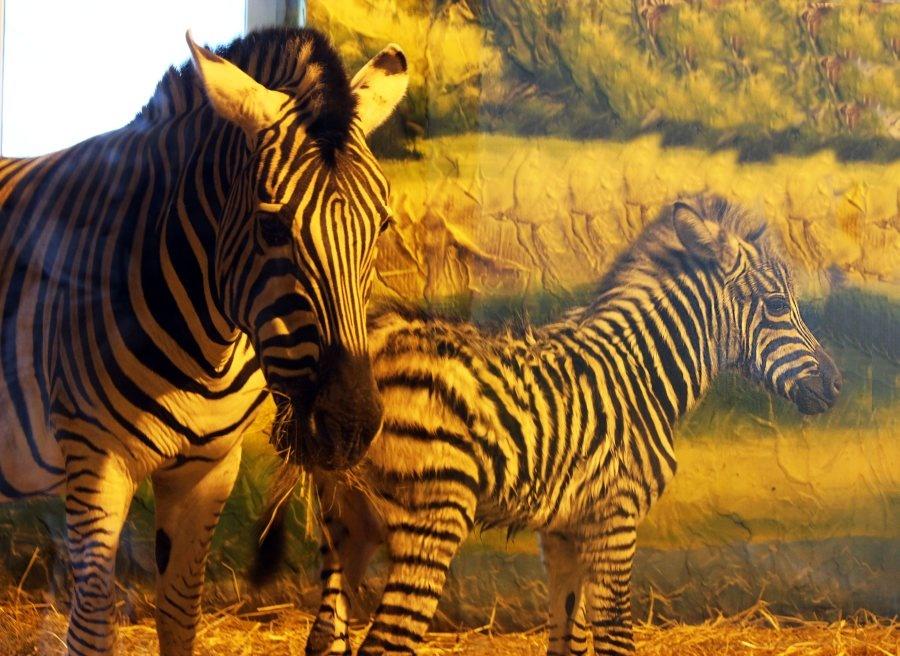 Детеныш зебры родился в нижегородском зоопарке - фото 1